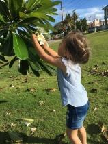 Plumeria picking