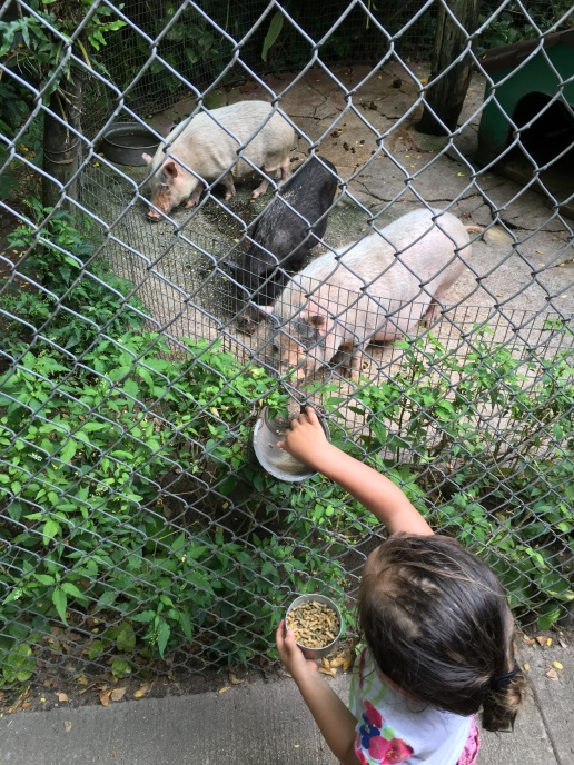 Feeding the pigs at the zoo