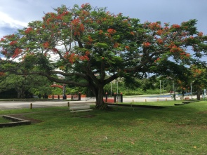Flame trees are blooming